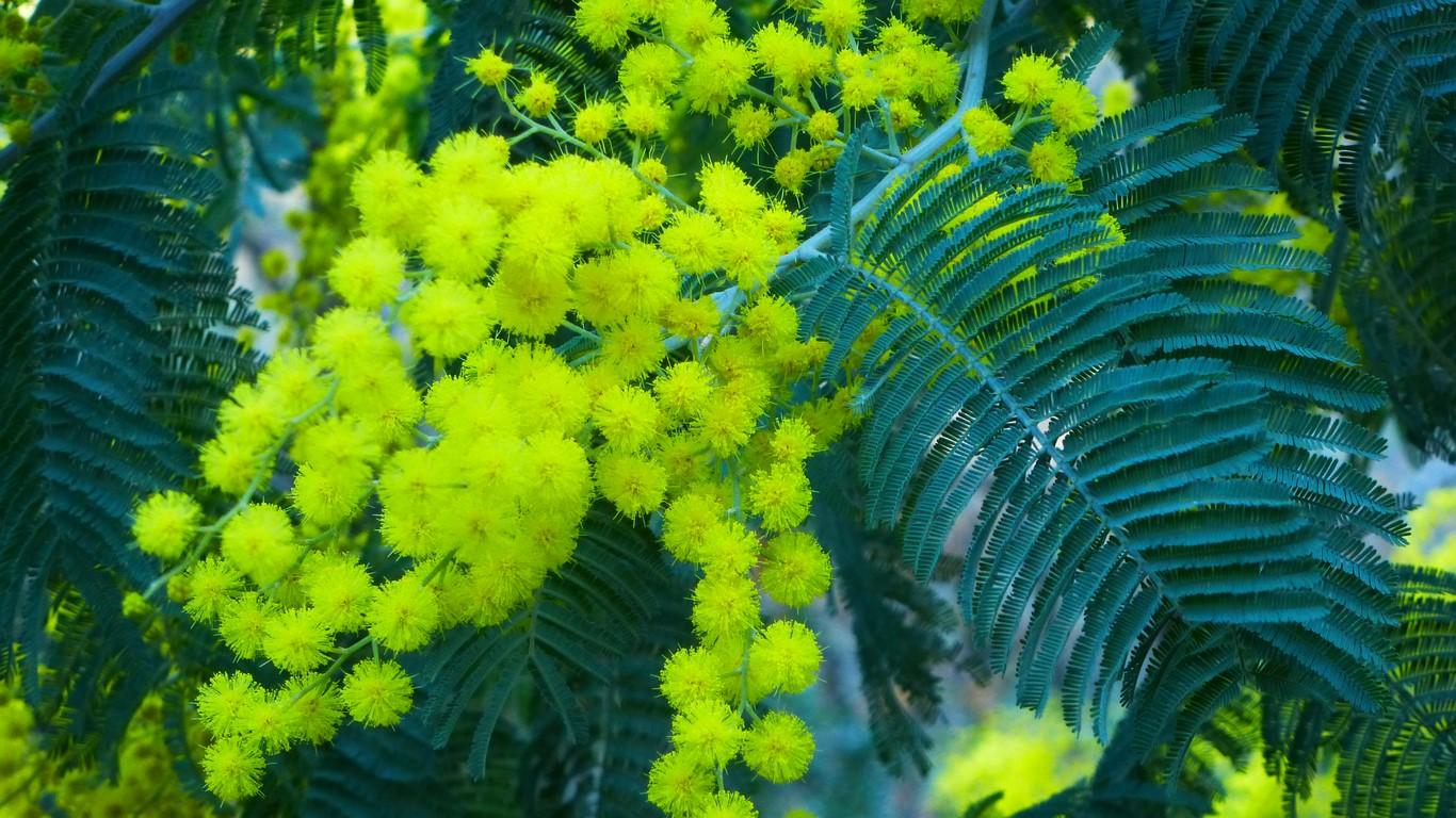 mimosa-tanneron